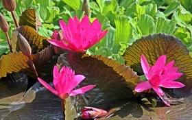 Обои листья, цветы, лепестки, водоем