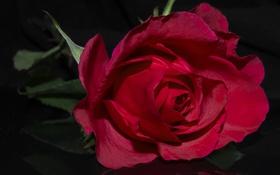 Обои роза, лепестки, красная, бутон