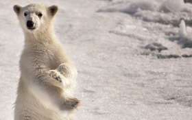 Обои white, snow, north, arctic, Bear, pole, polar