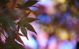 Обои листья, блики, кленовые