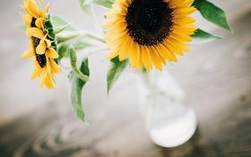 Обои подсолнухи, цветы, желтые, лепестки, ваза