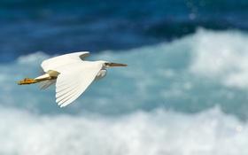 Картинка полет, птица, цапля, Восточная, рифовая