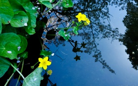 Картинка листья, вода, цветы, природа, отражение, растения