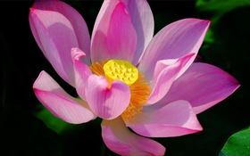 Обои цветок, лепестки, лотос