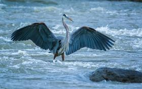 Обои поток, крылья, камень, птица, река