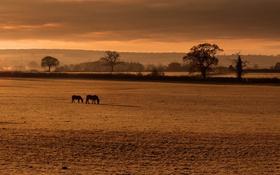 Обои поле, туман, кони