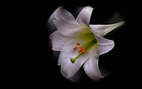 Обои лепестки, лилия, растение, природа, цветок