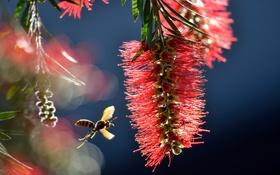 Обои макро, оса, насекомое, соцветие, Bottlebrush, Callistemon, бумажная оса