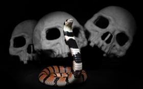Картинка cobra, snake, Aspidelaps lubricus