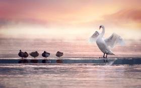 Обои птицы, утки, лебедь