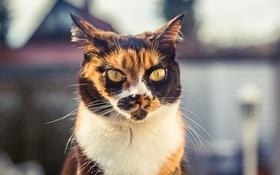 Обои глаза, кот, взгляд, фон