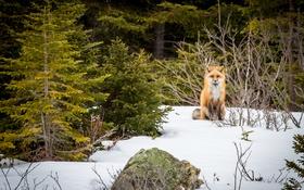 Обои fox, winter, snow