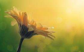 Обои природа, цветок, макро