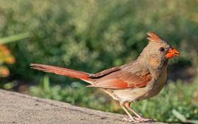 Картинка природа, птица, клюв, хвост, кардинал