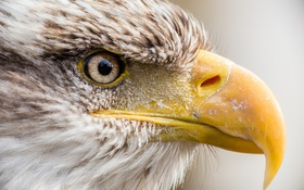 Картинка птица, хищник, клюв, профиль, белоголовый орлан