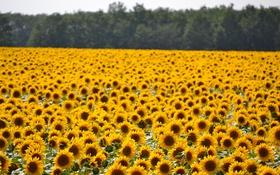 Обои поле, подсолнухи, желтые, много