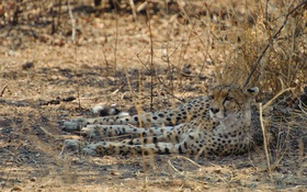 Обои отдых, хищник, гепард, дикая кошка