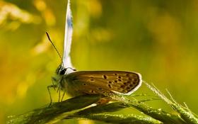Обои колоски, бабочка, капли