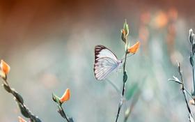 Обои цветы, фон, бабочка