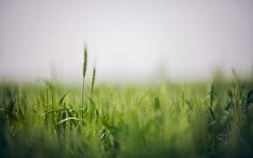 Картинка поле, природа, колосья