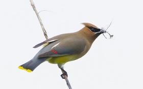 Обои птица, ветка, клюв, хвост, свиристель