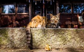 Обои кошка, взгляд, хвост
