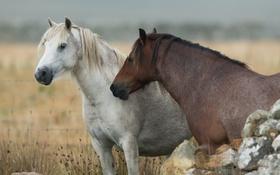 Обои природа, фон, кони