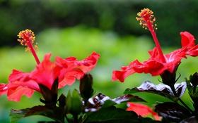 Картинка цветы, цветение, красный гибискус
