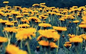 Обои одуванчики, Природа, Pyatkov_Denis, цветы