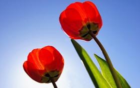 Обои небо, листья, лепестки, стебель, тюльпаны