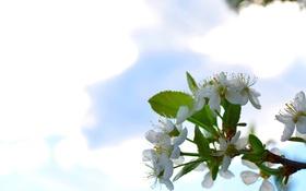Картинка природа, вишня, цветение, макро, цветы