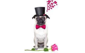 Обои собака, funny, romantic, cute, love, heart, dog