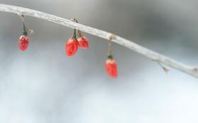 Обои осень, природа, ягоды