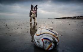 Обои взгляд, друг, мяч, собака