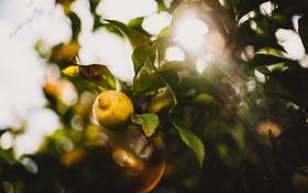 Обои листья, солнце, лимон