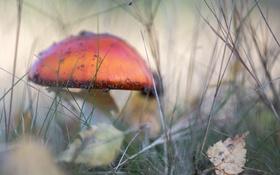 Картинка осень, природа, гриб