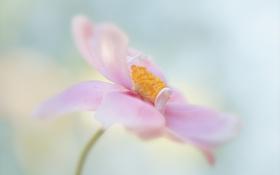 Картинка цветок, розовый, нежный, анемона, японская