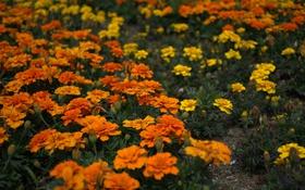 Обои желтые, оранжевые, цветение, кустики, Бархатцы