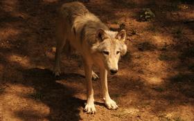 Обои взгляд, земля, волк, смотрит