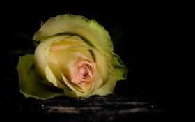 Обои цветок, фон, роза