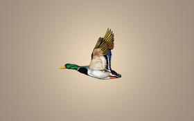 Обои минимализм, duck, утка, полет, птица