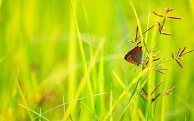 Обои трава, бабочка, растения, колосья