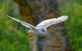 Обои полет, птица, крылья, сипуха