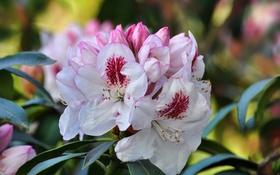 Обои flowering shrub, бело-розовые цветы, white and pink flowers, цветущий кустарник
