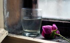 Обои цветок, стакан, роза, окно