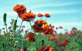 Картинка поле, цветы, семена, оранжевые, рананкулюсы