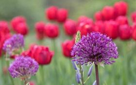 Обои поле, макро, цветы, луг, тюльпаны