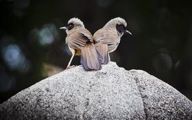 Обои птицы, фон, камень, две