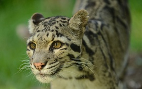 Обои кошка, взгляд, морда, дымчатый леопард