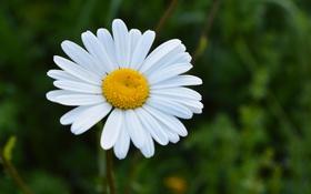 Обои цветок, природа, лепестки, размытость, ромашка